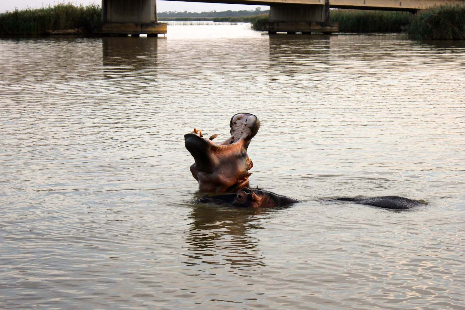 Hippo Yawning at St Lucia Estuary, KwaZulu-Natal, South Africa