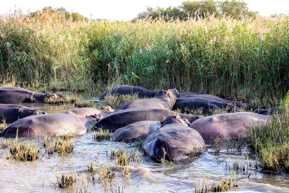 Hippo pod, St Lucia Estuary, South Africa, KwaZulu-Natal, wildlife