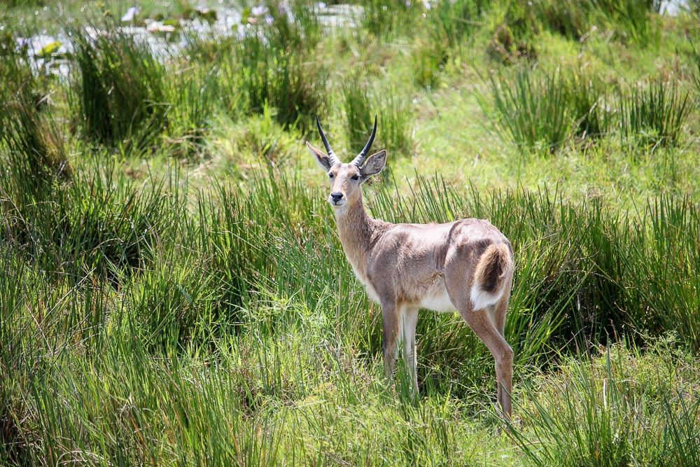 Southern Reedbuck, Western Shores, iSimangaliso Wetland Park, South Africa, wildlife