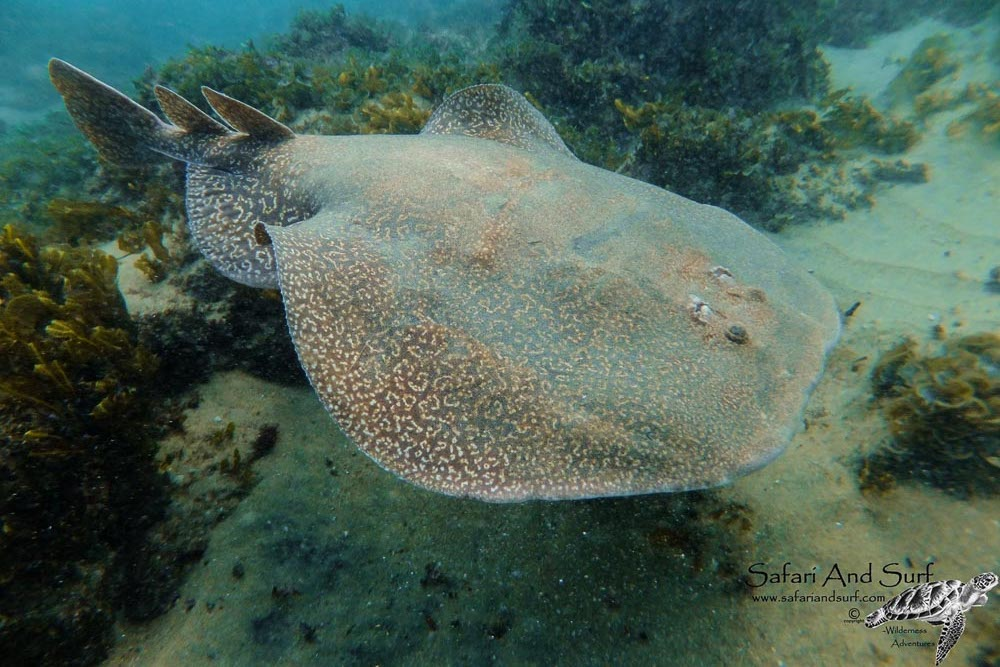 Marbled Electric Ray, Torpedo sinuspersici, Cape Vidal, KwaZulu-Natal, South Africa, marine life, marine species, fish