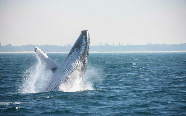 Humpback whale breaching, St Lucia, KwaZulu-Natal, South Africa, whale whatching, whale jumping, Advantage Tours
