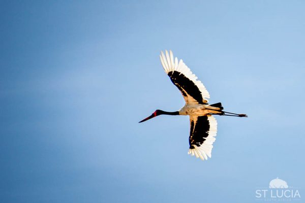 Saddle-billed Stork, St Lucia, KwaZulu-Natal, South Africa, bird life, bird species