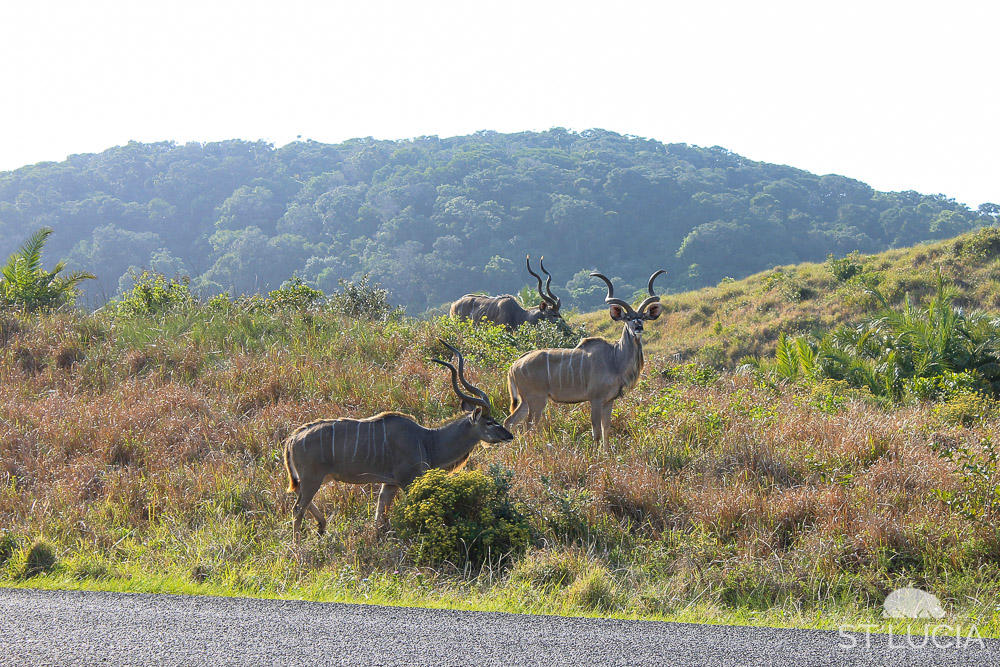 Kudu bulls on Eastern Shores, iSimangaliso Wetland Park, Cape Vidal