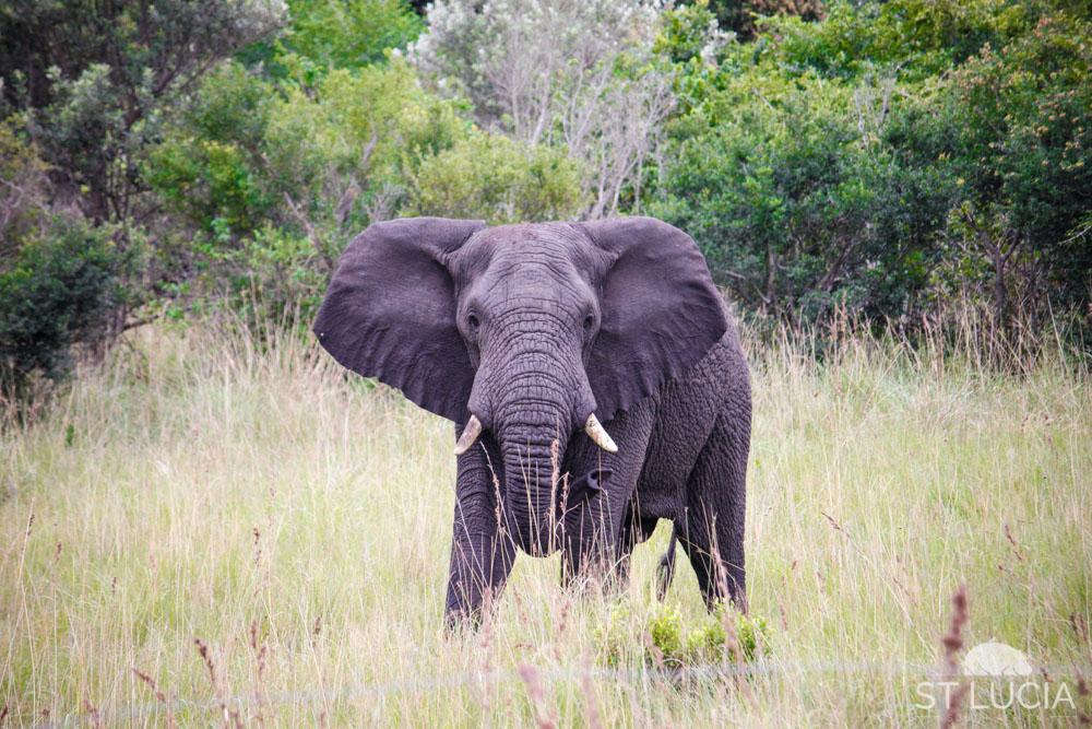 iSimangaliso Wetland Park, elephant